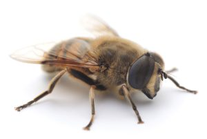 Picture of a drone honey bee
