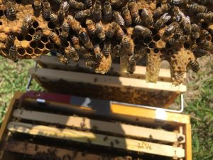 Capped queen cells on frame