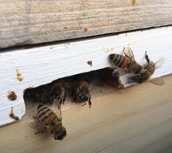 Bees at the entrance of the hive